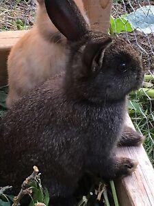 Beautiful rabbit for sale Moose Jaw Regina Area image 2