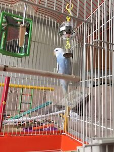 Parakeets for sell + cage and playground