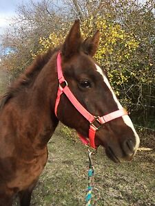 2 year old AQHA registered Mare for sale!