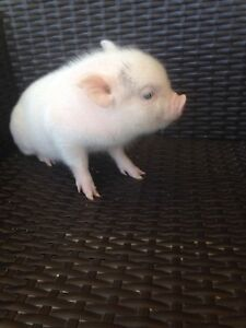 Micro potbelly piglets for sale!