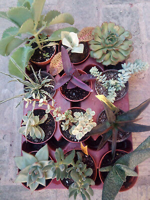 Lot of 24 Plants Succulents and Cactus Collection in 8' 5 CMS Tray Full