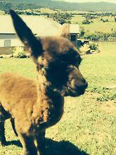 Alpacas Avondale Wollongong Area Preview