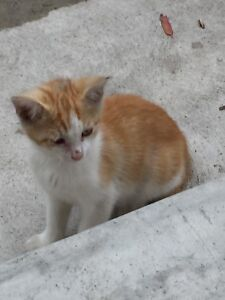 Kitten male free to good home