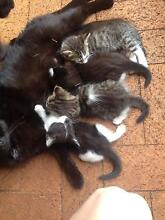 kittens need to go this week!! Kearneys Spring Toowoomba City Preview