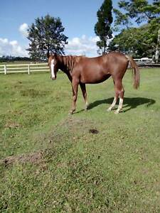ASH Reg filly ROSE BLOSSOM by Mc NAMARA SOUL Caboolture Caboolture Area Preview