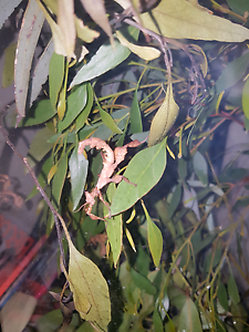 Leafy stick insects Adelaide CBD Adelaide City Preview