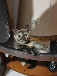 Kitten British Shorthaired Absolutely Adorable Cat