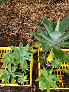 Agave Attenuata plants (potted)