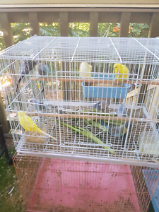 Budgies budgies forsale range from $25 ,$35,$50,$60