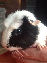 Baby guinea pigs for sale (All SOLD Pending pick up) Langhorne Creek Alexandrina Area Preview