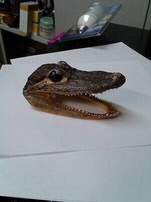 Genuine Small Alligator Head 5