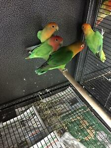 YOUNG LOVEBIRDS FOR SALE !