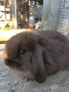 Holland lop baby rabbits