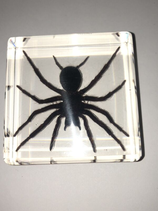 Real Moss Spider (Trantula) Paperweight Taxidermy In Acrylic!!! Labeled!!