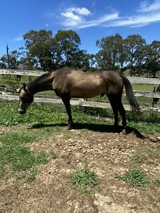 Beautiful, gentle, registered stock horse stallion for stud