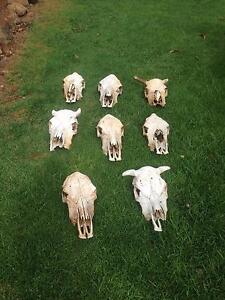 Cow skulls Alstonville Ballina Area Preview