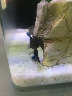 FIGHTING FISH/BETTA