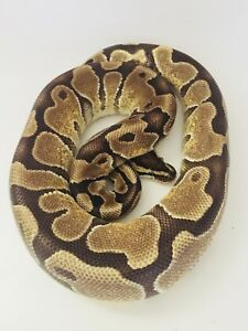 Ball pythons for sale clown pied ghi