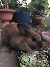 Rabbit to good home Hammond Park Cockburn Area Preview