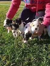 Mini Fox Terrier Puppies For Sale Londonderry Penrith Area Preview