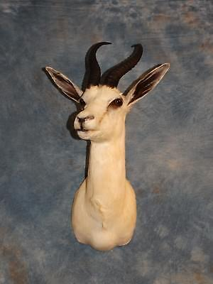 Beautiful African White Springbuck Gazelle Mount Horns Skull Taxidermy Decor