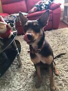 Kelpie Puppy (On trial) Old Noarlunga Morphett Vale Area Preview