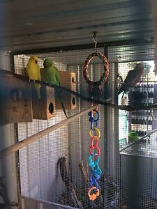 Ringnecks for sale Bell Park Geelong City Preview