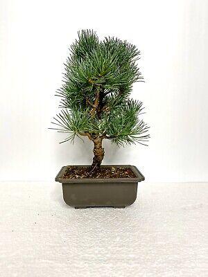 Way Of Life Bonsai Japanese White Pine