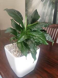 Potted peace lily for sale