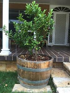 Wine barrel with lime tree Springwood Blue Mountains Preview