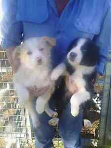 Border collie puppies Murray Bridge Murray Bridge Area Preview