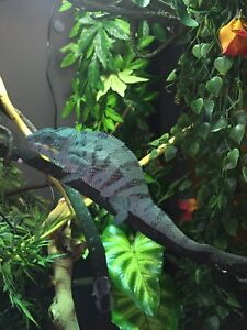 $575 OBOPANTHER CHAMELEON WITH CAGE AND ACCESSORIES