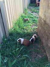 Handsome, cute and lovely Guinea pigs West Ryde Ryde Area Preview