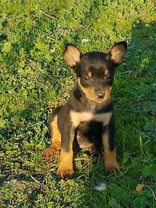 Purebred Kelpie Pups Cowra Cowra Area Preview
