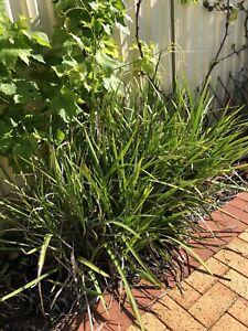 Dietes Plants (wild iris)
