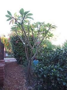 FRANGIPANI TREE - Very Large Yellow - 3.5M Tall Eden Hill Bassendean Area Preview