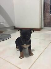 Chihuahua X Jack Russell Armadale Armadale Area Preview