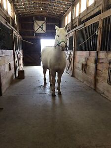 Bombproof gelding for on property lease