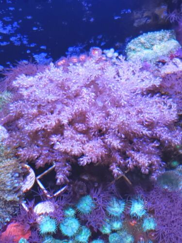 Live coral wysiwyg: X-LARGE PINK TREE CORAL LEATHER CORAL ZOANTHIDS 40+BRANCHES