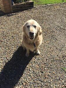 Dog found in Sancrox Sancrox Port Macquarie City Preview