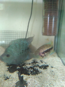 American Cichlids Salisbury Brisbane South West Preview