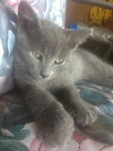 Gray male kitten to good home