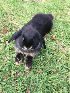 Pure bred mini lop rabbits bunny