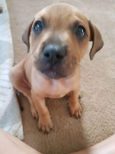 Three American Staffy  cross puppies needing loving homes. d. Redcliffe Redcliffe Area Preview