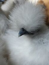 Pure Silkie Pullets (girls) Westmead Parramatta Area Preview