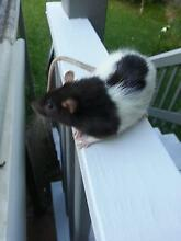 Adult Male Rat Nambour Maroochydore Area Preview