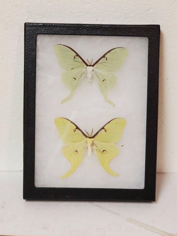 Real framed Luna Moths(M&F) from North America dwarf specimens