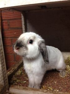 Male mini lop St Andrews Campbelltown Area Preview