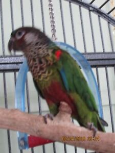 Painted conure and green cheeked conure