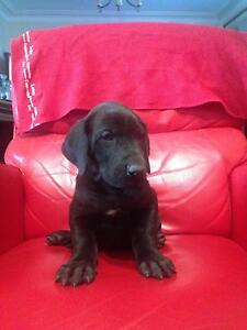 Great Dane puppies for sale Middle Dural The Hills District Preview